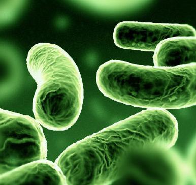 legionella bakterium